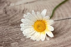 White flower with water drops Stock Photos