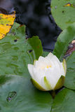 White flower on water lily Royalty Free Stock Photos