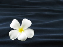 Close-up single white frangipani or plumeria flower on wave of dark blue fabric. Single white frangipani or plumeria flower on wave of dark blue fabric, like Stock Images