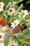 White flower of Wedelia or wedelia trilobata. Stock Photos