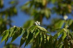 White Flower of West Indian Cherry. Or Calabura, Jam tree, Jamaican cherry, Malayan Cherry Stock Image
