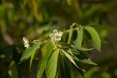 White Flower of West Indian Cherry. Or Calabura, Jam tree, Jamaican cherry, Malayan Cherry Stock Images