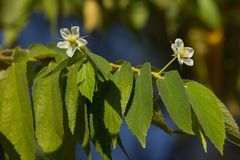 White Flower of West Indian Cherry. Or Calabura, Jam tree, Jamaican cherry, Malayan Cherry Stock Photos