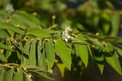 White Flower of West Indian Cherry. Or Calabura, Jam tree, Jamaican cherry, Malayan Cherry Royalty Free Stock Photos