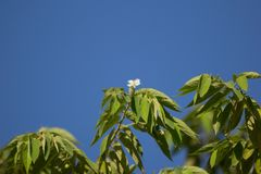 White Flower of West Indian Cherry. Or Calabura, Jam tree, Jamaican cherry, Malayan Cherry Royalty Free Stock Photo