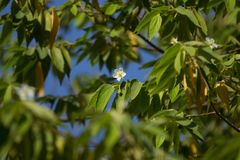 White Flower of West Indian Cherry. Or Calabura, Jam tree, Jamaican cherry, Malayan Cherry Stock Photo
