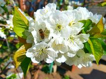 The white flower on which the bee sits. Green leaves of a tree around flowers. Stamens and pistils of flowers are clearly marked. royalty free stock photography