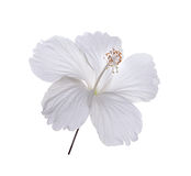 White flower on white background Royalty Free Stock Photography