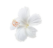White flower  on white background Royalty Free Stock Photo