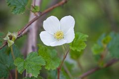 White flower. On a bush closeup on a green background Royalty Free Stock Photo