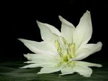 White Flower. In reflection royalty free stock images