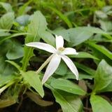 White Flower. Wild White Flower Stock Photography