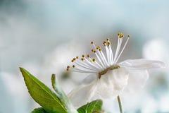 White flower of the wild plum, macro shot against soft backgrou. White flower of the wild plum, macro shot against soft blue background with copy space stock photos