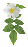 White flower wild rose Stock Photography