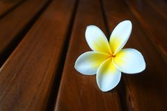White flower on the wooden chair. Tropical, garden, spa, smell, beautiful, lonely, closeup, isolated, plants stock photos