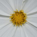 White flower and yellow pollen Stock Photography