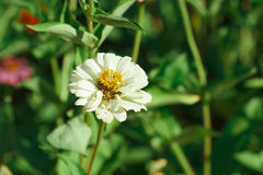 White flower with yellow pollen Stock Photography