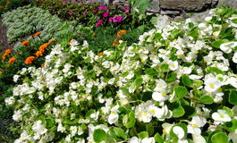 White flowerbed in a garden. During summertime Royalty Free Stock Image