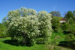 White flowered blooming trees spring time stock photos