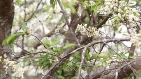 Plum blossomed in spring stock video footage