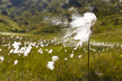 White flowered cotton grass Royalty Free Stock Photo