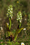 White flowered Giant Orchid plants - Himantoglossum robertianum Stock Photo
