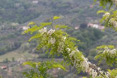 White flowering acacia branches. Abundant flowering acacia branch of Robinia pseudoacacia. The view of white acacia flowering branch. Abundant flowering acacia royalty free stock images
