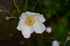 White Flowering Anemone Blooming in a Garden. Garden wtih a pretty blooming white anemone flower stock photos