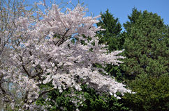 White flowering big tree in the nature photo Royalty Free Stock Photo