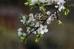 White flowering branch of the wild plum Stock Photo