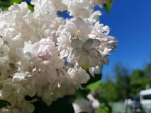 White flowering branches of lilac against the blue sky stock images