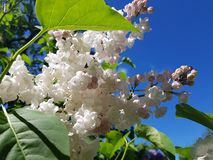 White flowering branches of lilac against the blue sky royalty free stock photos
