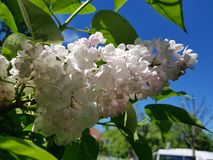 White flowering branches of lilac against the blue sky royalty free stock image
