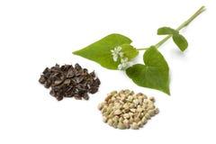 White flowering buckwheat with seeds Stock Photos