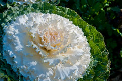 The white Flowering Cabbage and Kale or Ornamental Cabbage and K Royalty Free Stock Photo