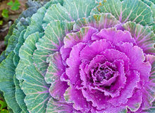The white Flowering Cabbage and Kale or Ornamental Cabbage and K Stock Images