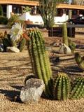 White flowering cactus Stock Photos