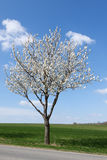 White flowering cherry tree Stock Photography