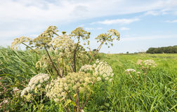 White flowering common hogweed from close Royalty Free Stock Images
