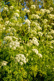 White flowering cow parsley from close Stock Images