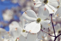 White Flowering Dogwood Stock Photos