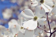 White Flowering Dogwood. Flower detail stock photos