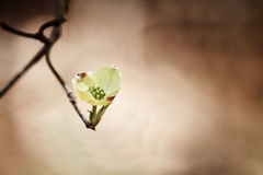 White flowering dogwood blossom stock photo