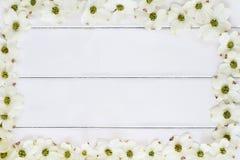 White Flowering Dogwood Blossom Background Royalty Free Stock Images