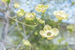 White flowering dogwood blossom close-up royalty free stock photos