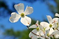 White Flowering Dogwood on Blue. White flowering dogwood flower on blue background stock photo