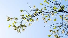 White flowering dogwood (Cornus florida) in bloom Royalty Free Stock Photos