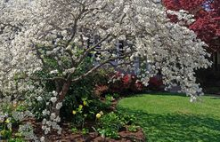 White Flowering Dogwood in Front Yard. Flowering spring dogwood tree with green lawn, tulips and Japanese maple stock image