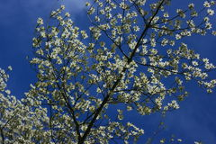 White FLowering Dogwood Tree Royalty Free Stock Photo