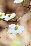 White flowering dogwood tree blossom. Flowering dogwood blossoms against a soft background. Extreme shallow depth of field with selective focus on center of stock photography
